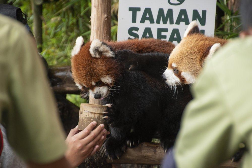 Red_Panda_2.jpg